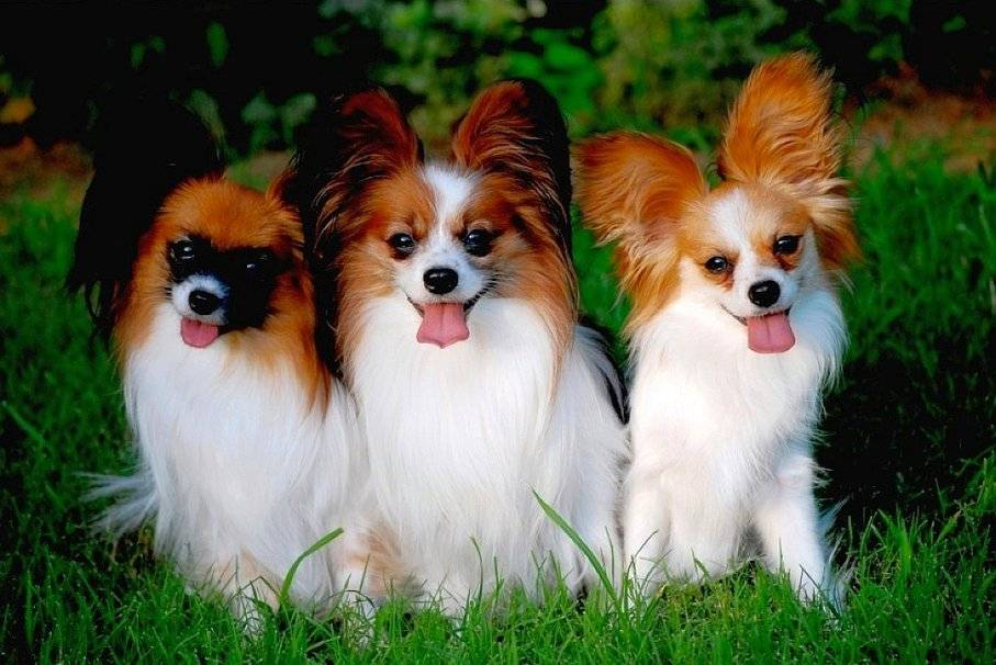 Собака папильон — фото, цена