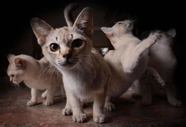 Сингапурская кошка: подробное описание, фото, купить, видео, цена, содержание дома