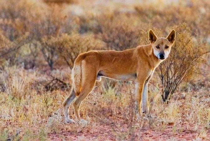 Дикая собака динго: необычная порода из австралии