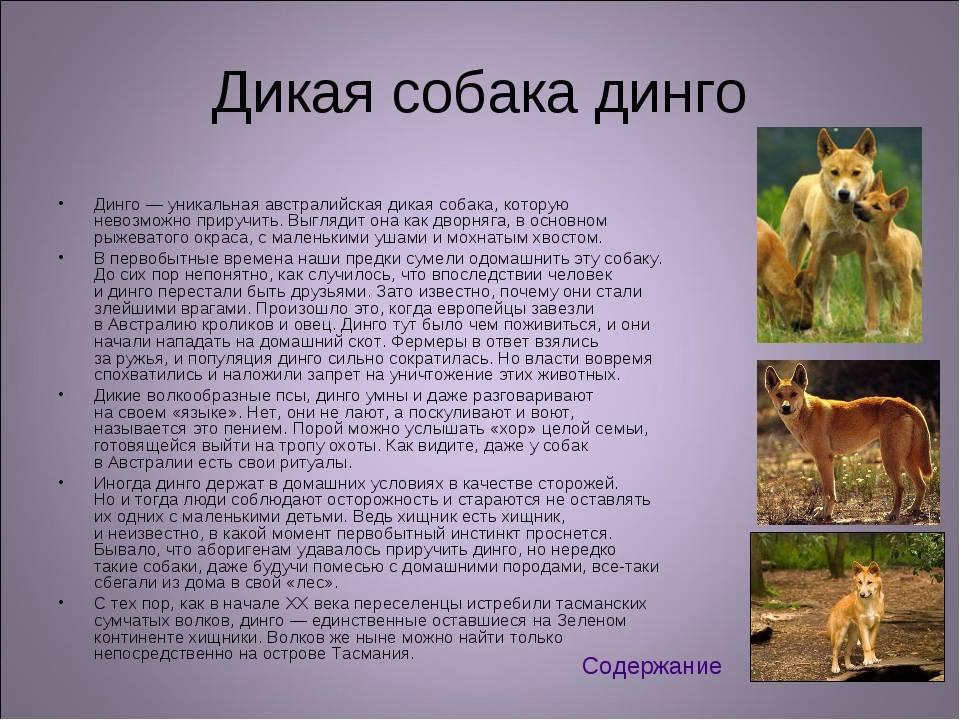 Собака динго - возникновение, характер и особенности