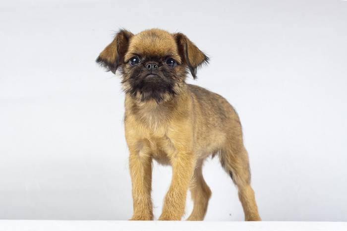 Порода собак брюссельский гриффон: описание, отзывы