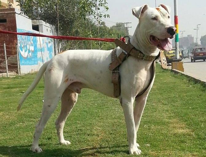 Гуль терьер описание породы. пакистанский бульдог — бойцовская порода собак гуль донг: описание и характеристика
