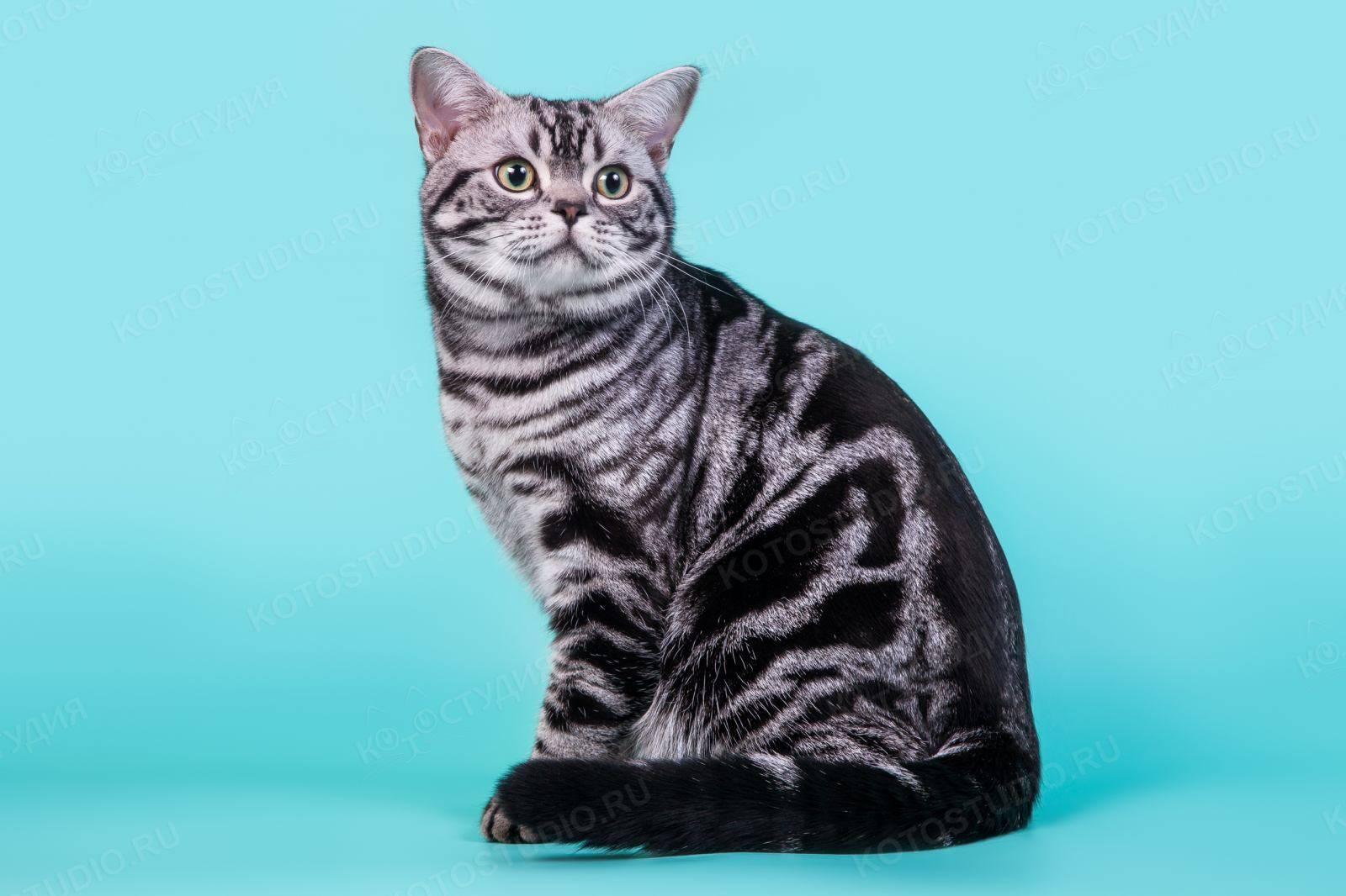 Американская короткошёрстная кошка: история породы, описание, особенности содержания и уход
