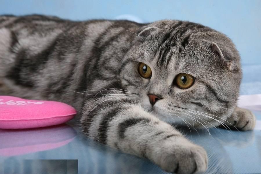 Какой породы котенок из рекламы вискас – раскрываем секрет