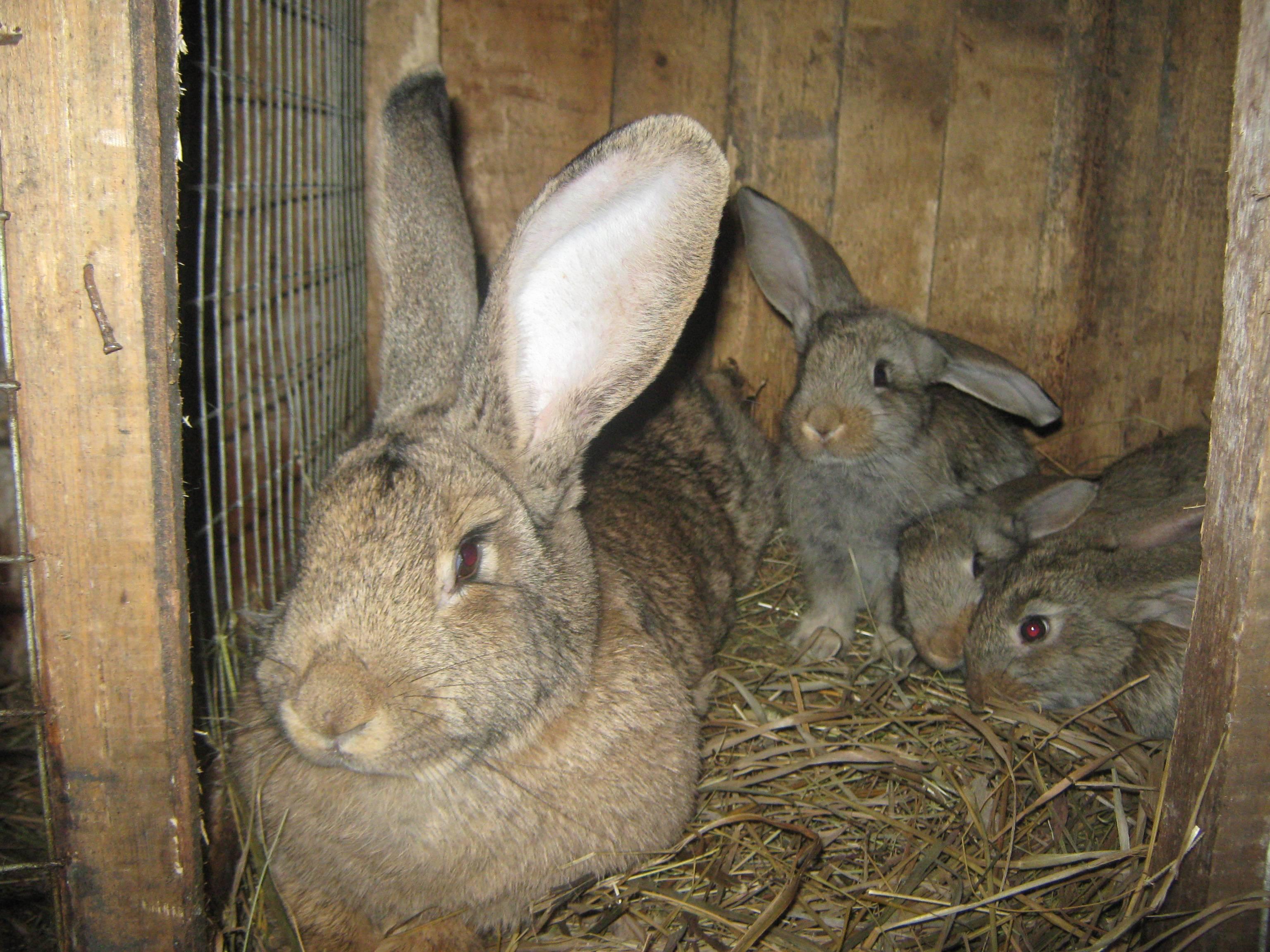 Порода кроликов серый великан: описание и особенности ухода