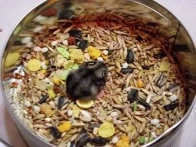 Чем кормить хомяка в домашних условиях — список что можно и нельзя давать грызунам
