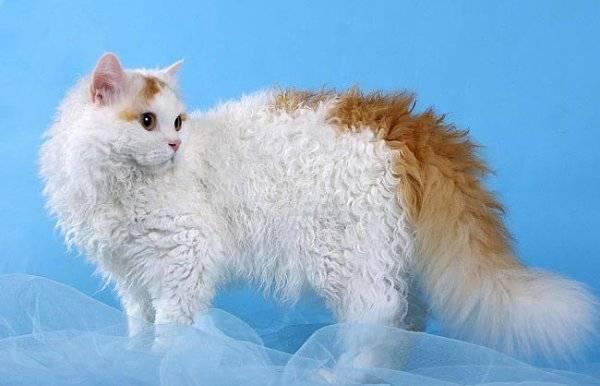 8 пород кудрявых кошек: самые популярные породы и их особенности