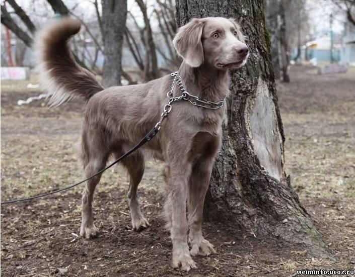 Веймаранер — описание породы и характер собаки