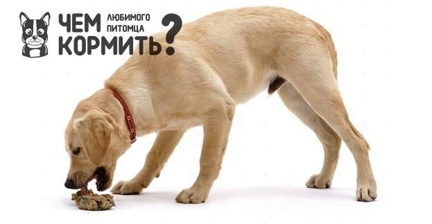 Лабрадор: уход и содержание, кормление щенка, дрессировка лабрадора в домашних условиях — «vexsi» журнал — обо всём!