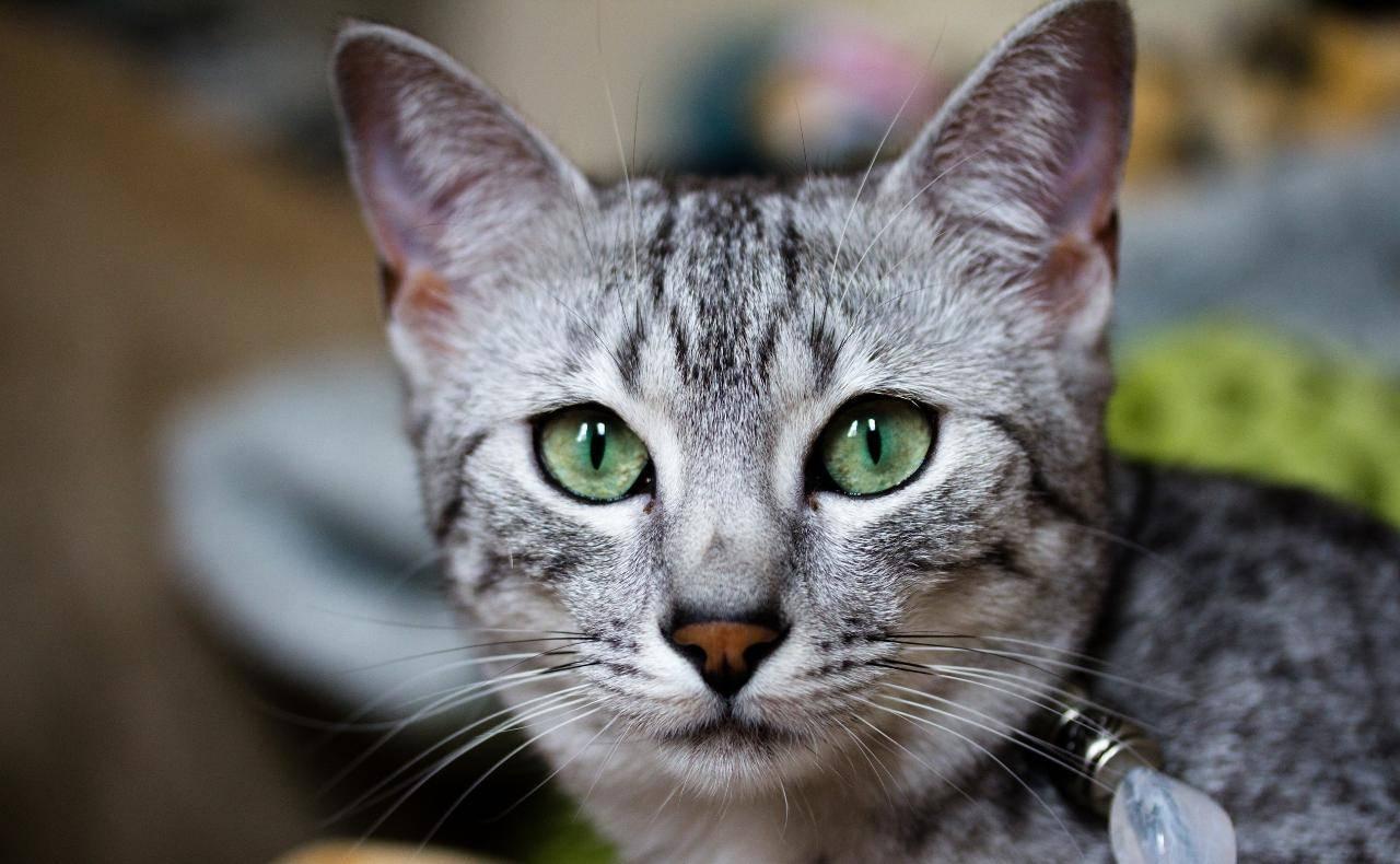 Египетская мау кошка: описание, характер, фото | voprosoff.net
