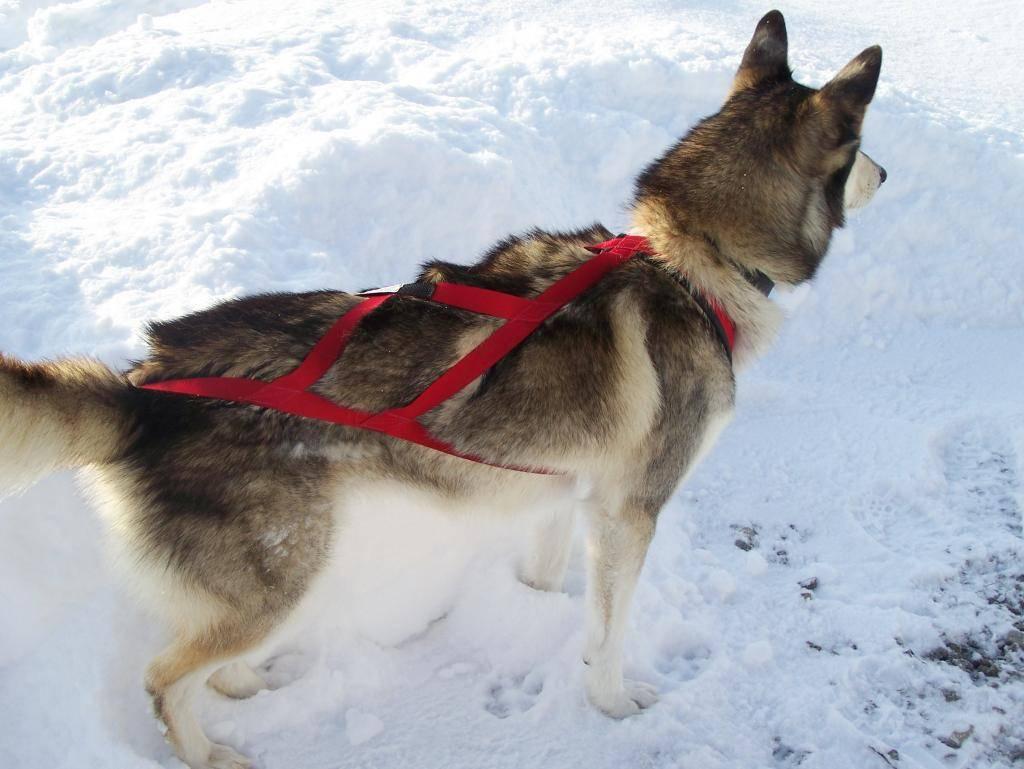 Шлейка для собаки своими руками | для маленьких, крупных, как одевается
