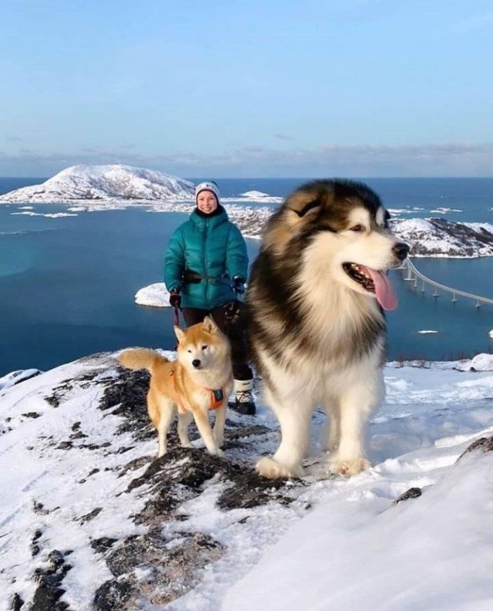Мощная и дружелюбная порода собак – маламут. подробная характеристика и описание дисквалифицирующих признаков