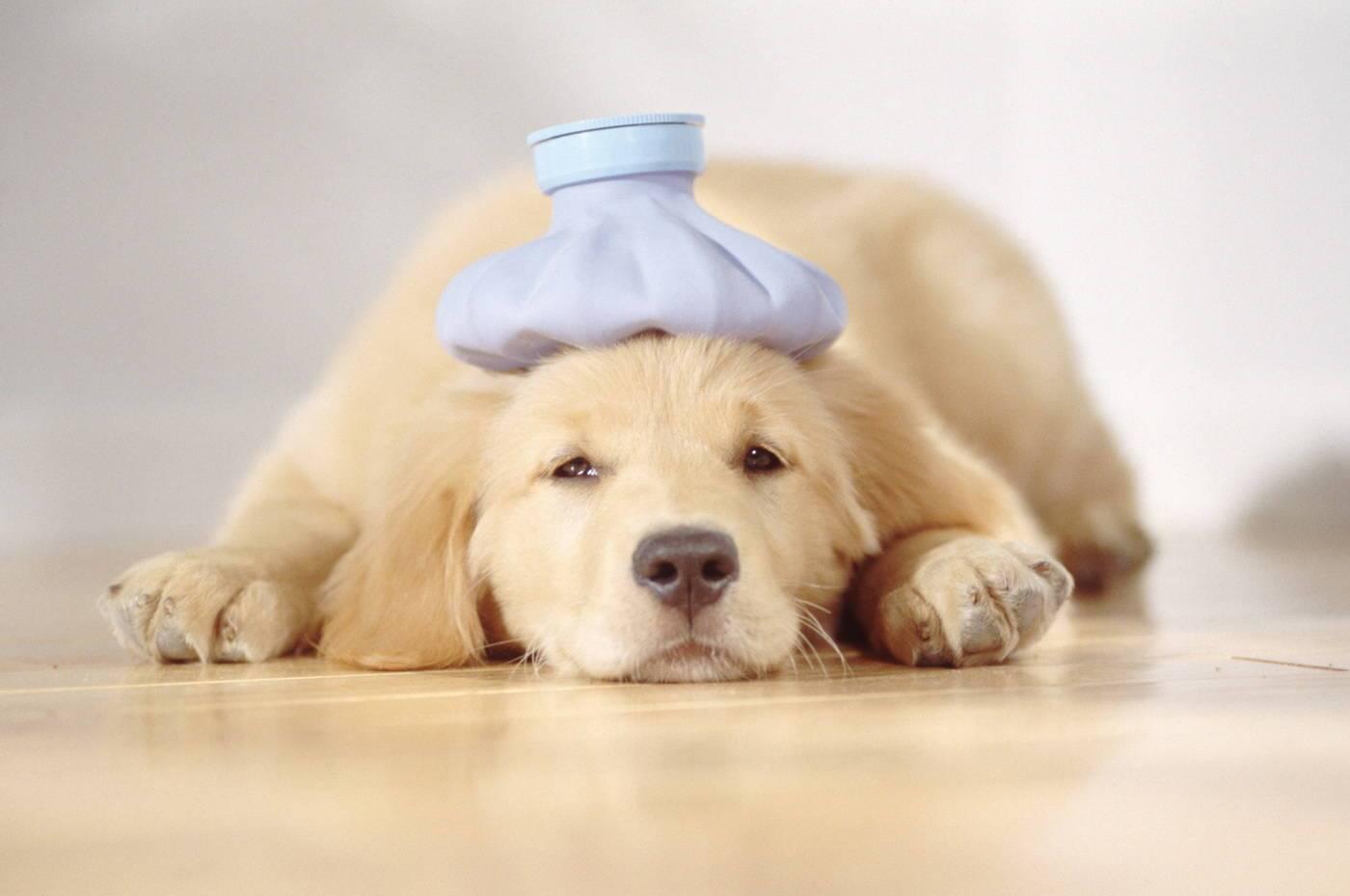 Как охладить собаку в сильную жару