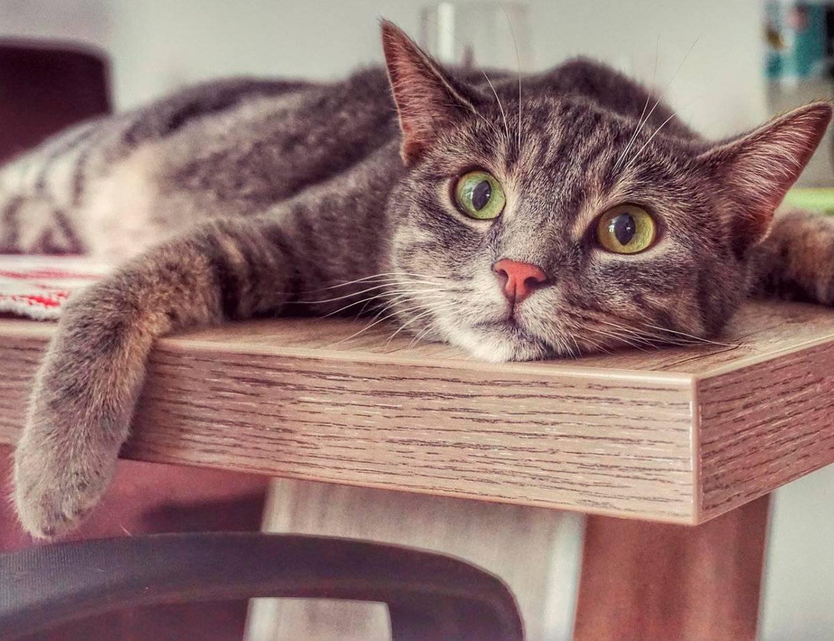 Эффективные методы отучения кошек и котов от лазанья по столам