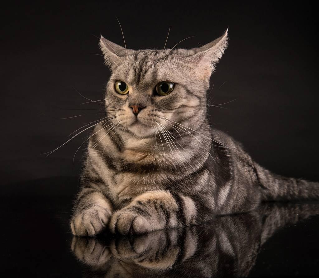 Американская короткошерстная кошка: цена, фото, описание породы, характер, содержание и уход  - mimer.ru