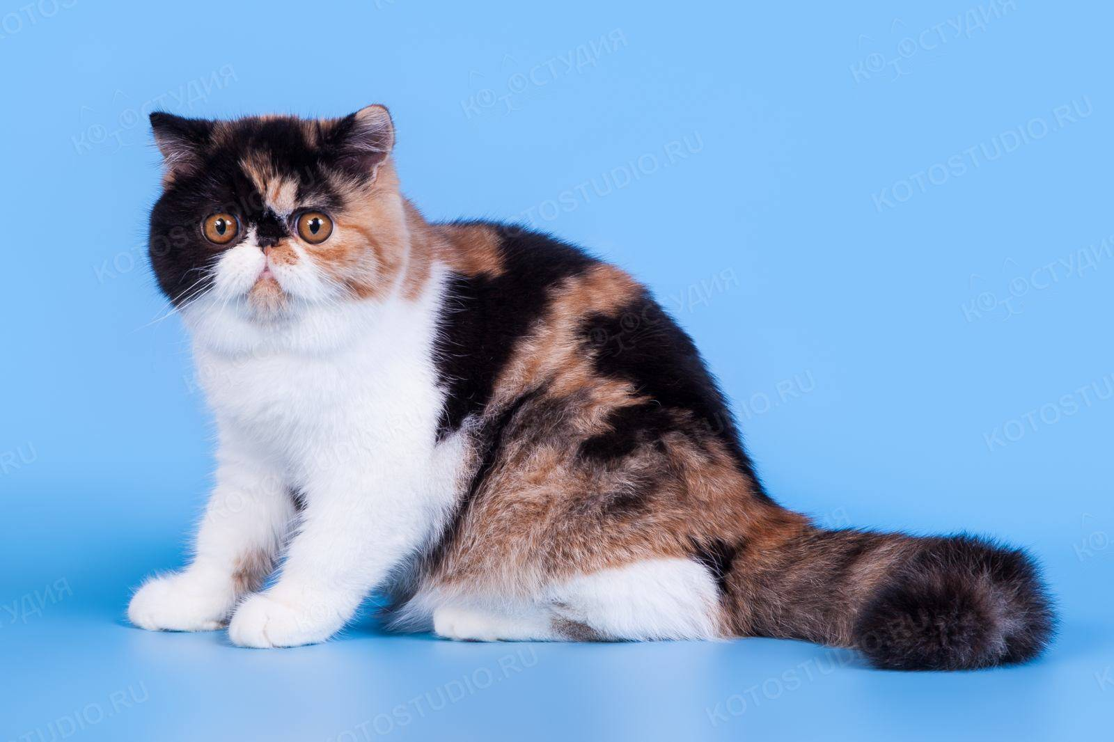 Экзот кот: фото, внешний вид, характер, содержание и уход
