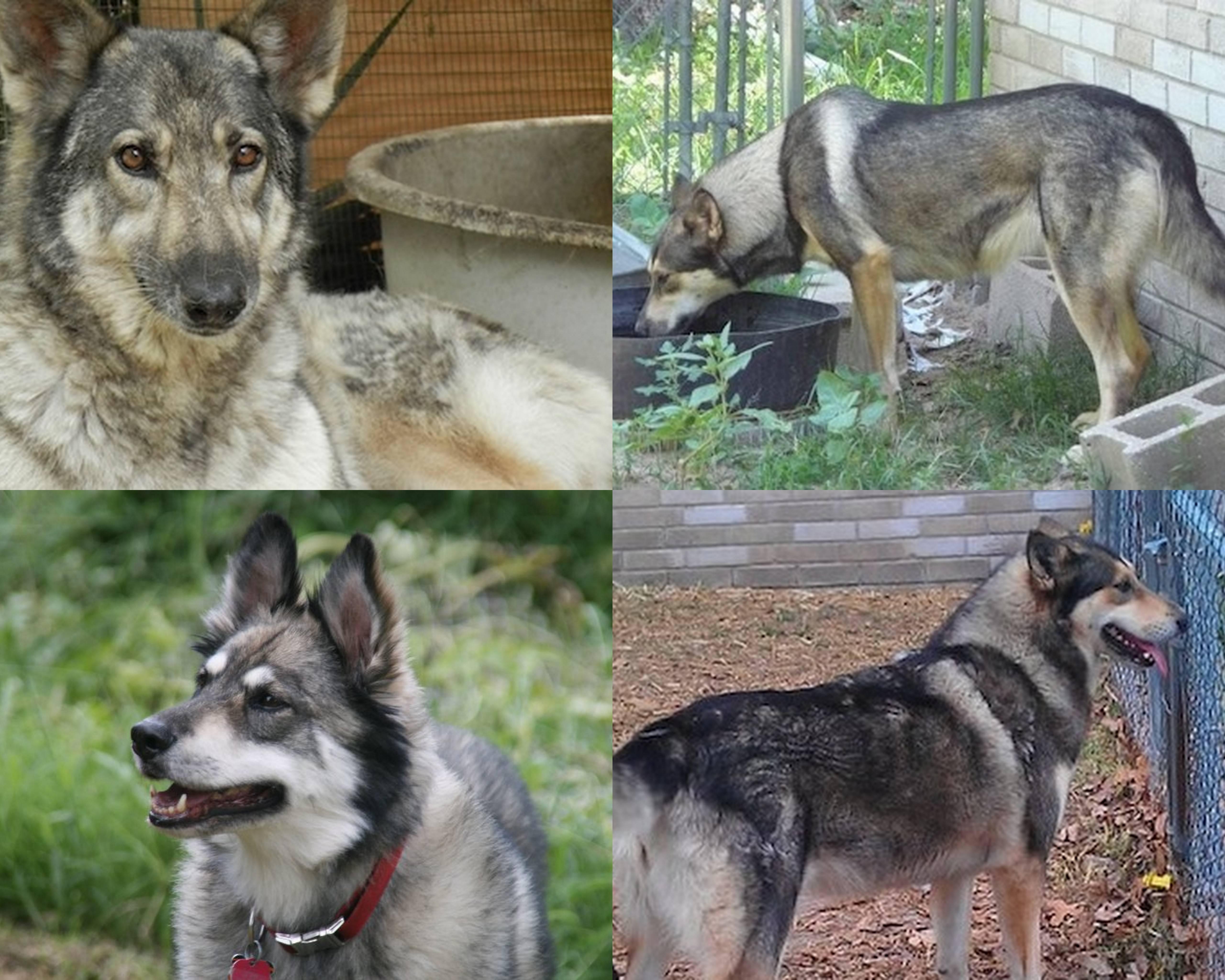 Для чего скрещивали собаку и волка, какова характеристика волкособа