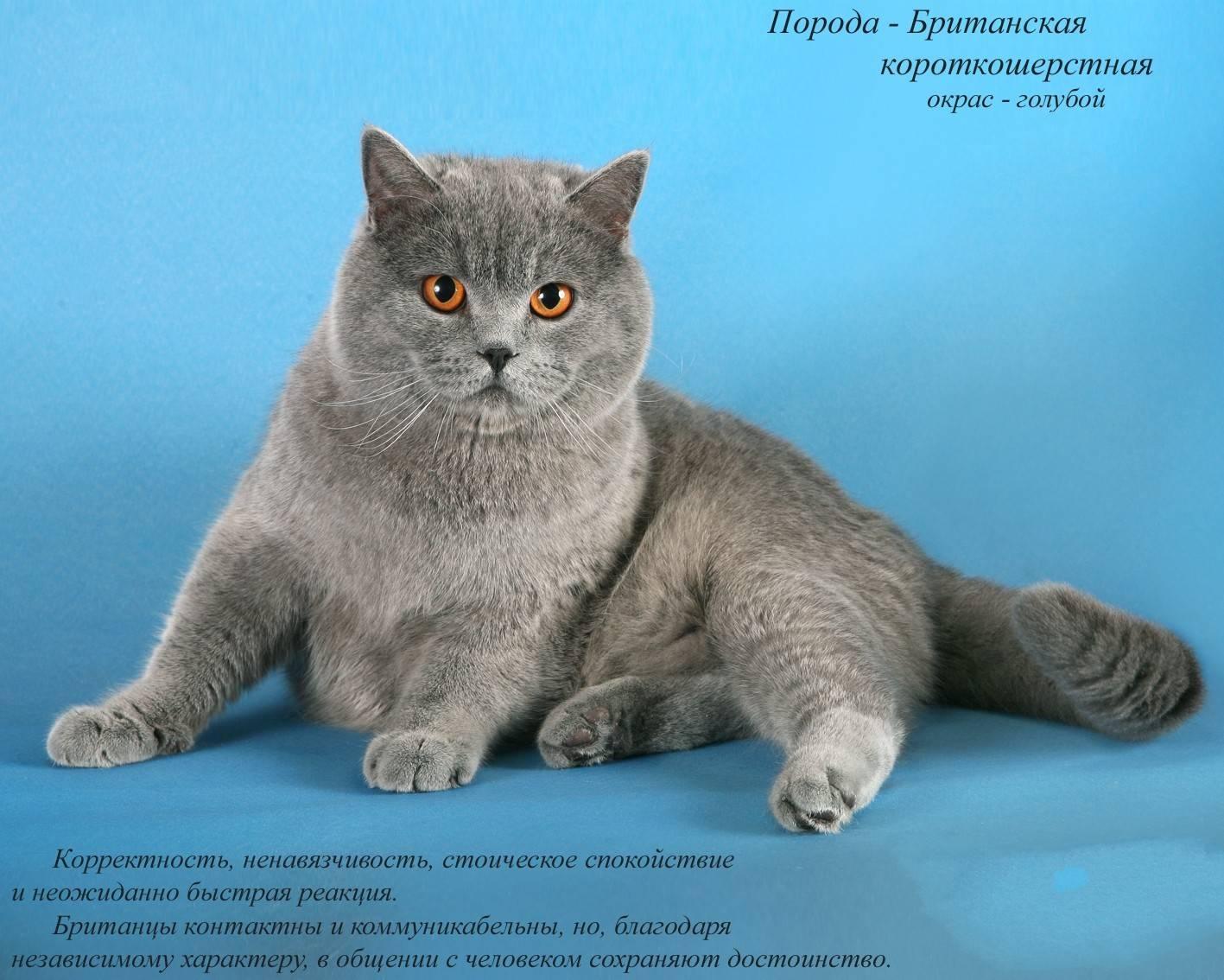 Британские короткошерстные коты: характеристика, фото