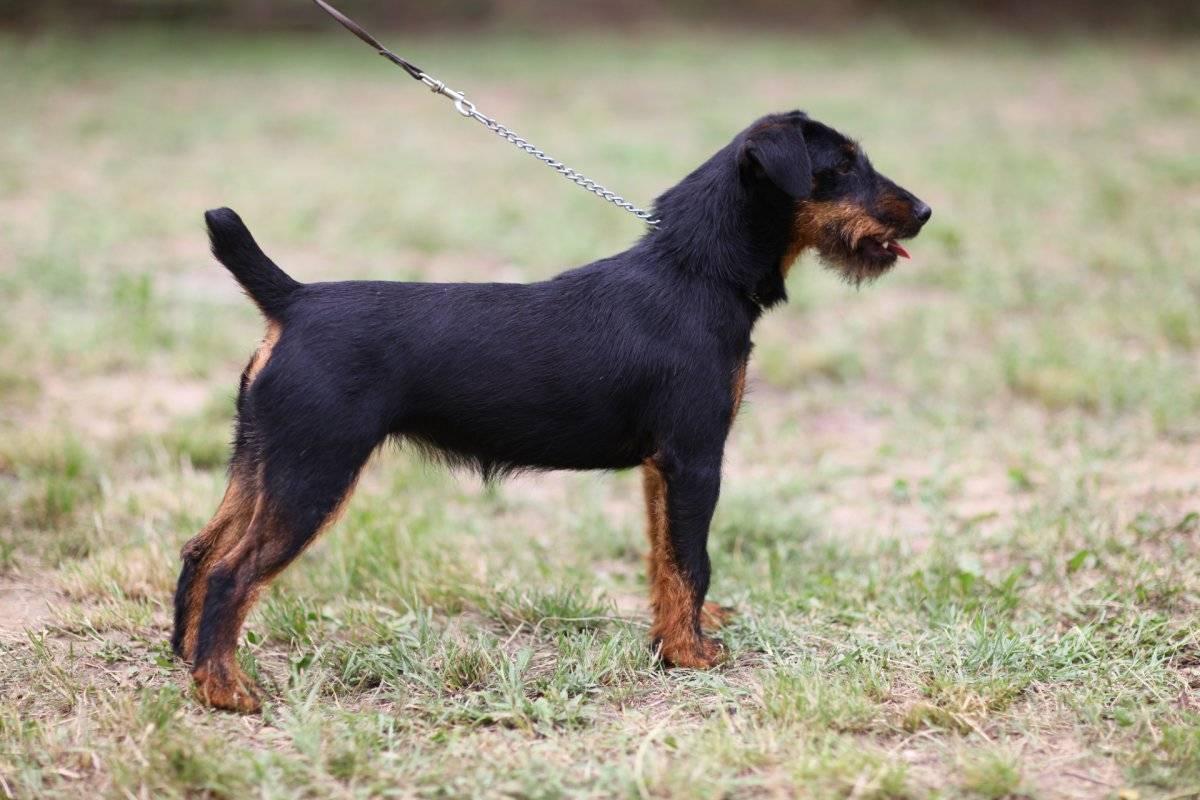 Немецкий жесткошерстный ягдтерьер ✱ собака гладкошерстный охотничий терьер - описание и характеристика породы