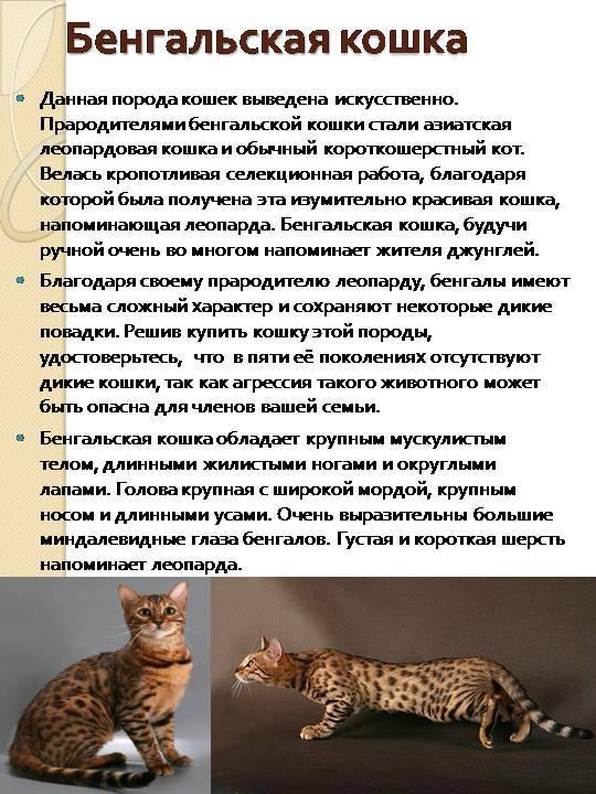 Серенгети – что это за порода кошек, цена, рост и особенности характера животного