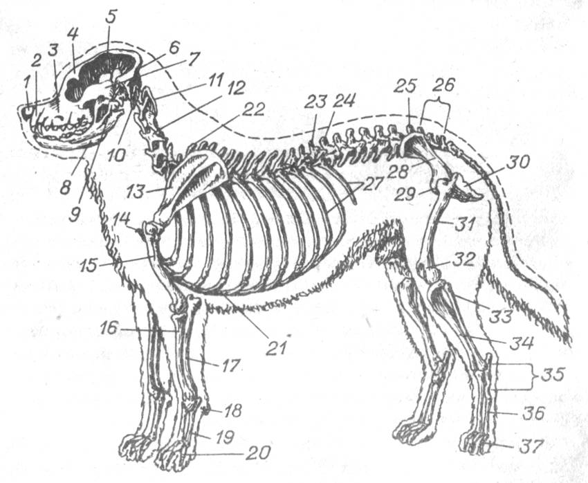 Анатомия собаки: скелет животного и строение его внутренних органов, фото