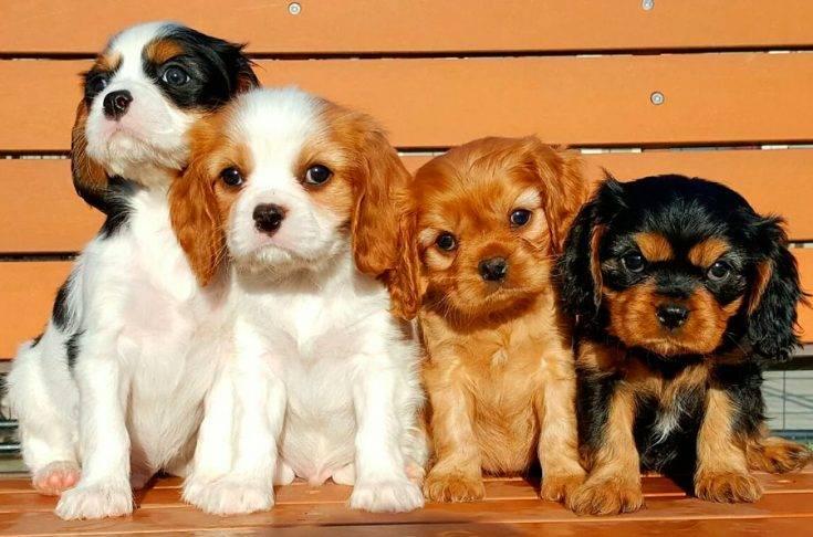 Характеристика собак породы кавалер-кинг-чарльз-спаниель