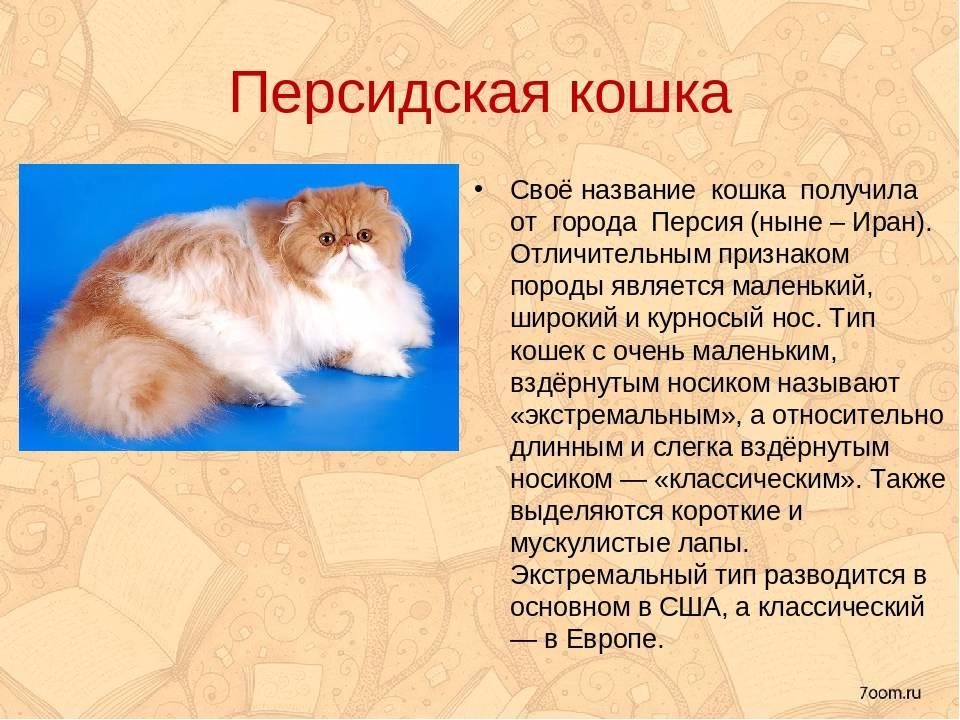 Характер и происхождение персидской кошки