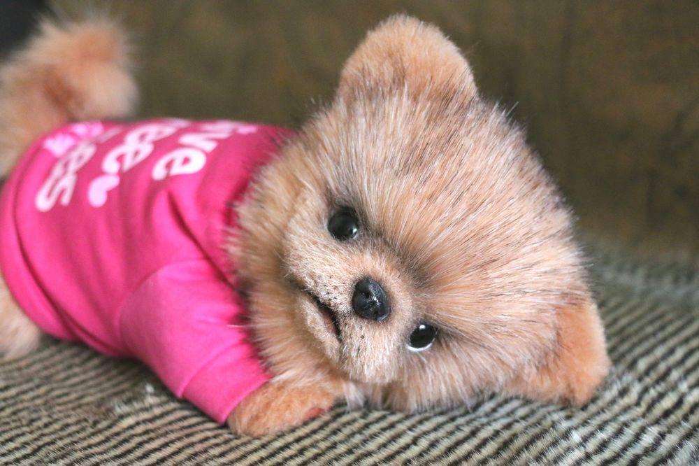 Топ-10 самых маленьких собак в мире