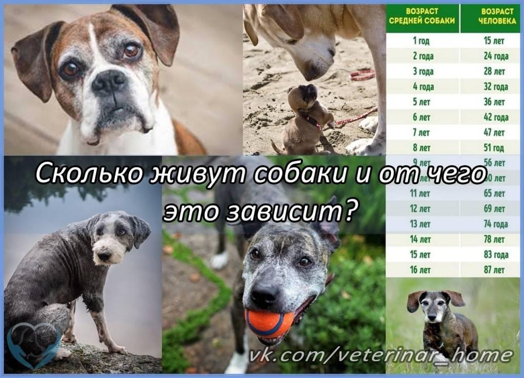 Сколько живут доги, и как продлить жизнь собаке?