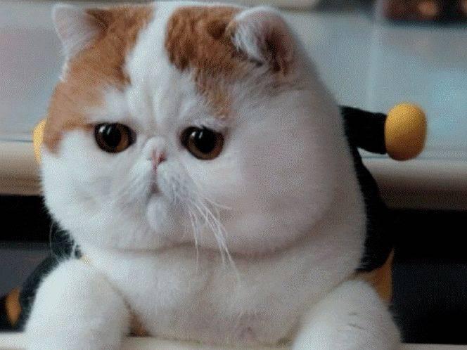 4 породы котов с приплюснутой мордой