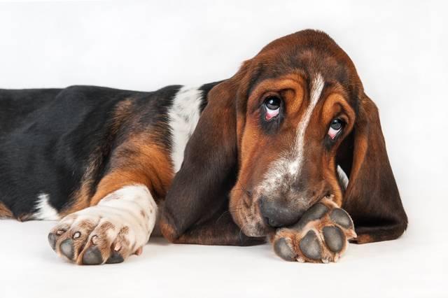 Бассет хаунд собака. описание, особенности, уход и цена бассет хаунда   sobakagav.ru