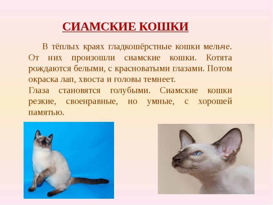 Сиамская кошка: описание породы, характеристики и уход