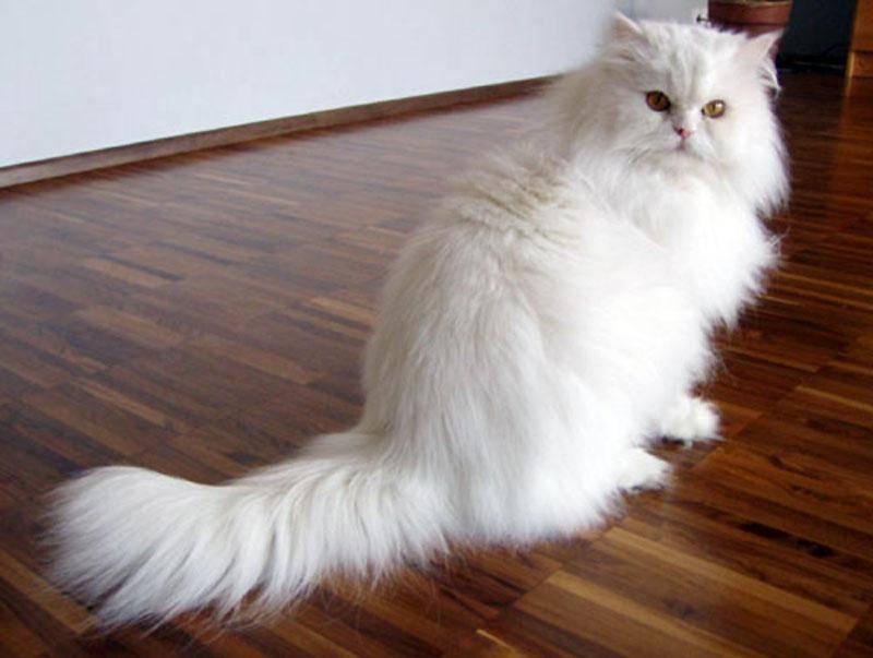 Породы серых кошек