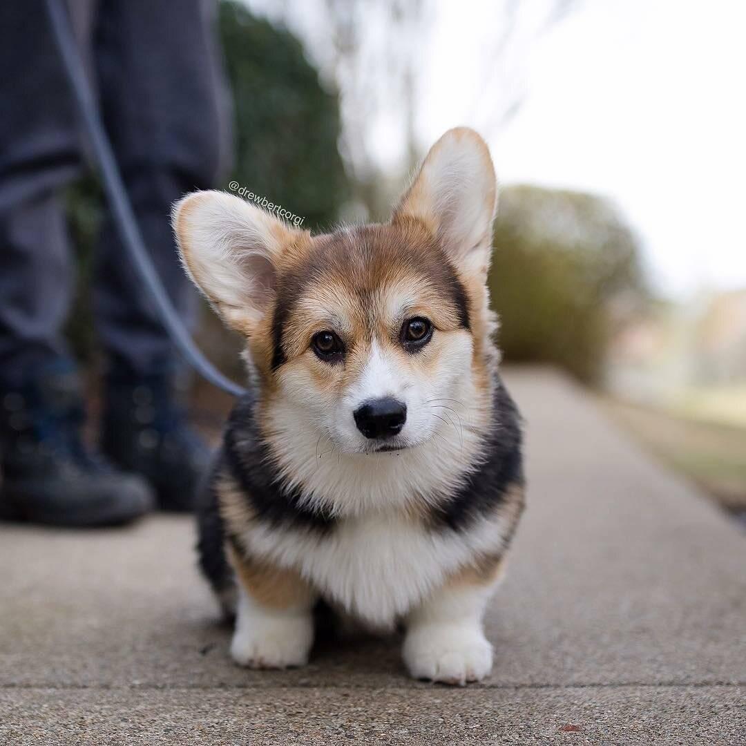 Породы собак с короткими лапами – обзор с фото и названиями
