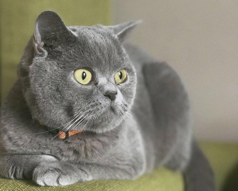 Все о британских кошках и котах