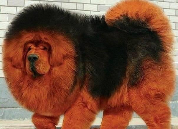 Самая большая собака в мире: топ 7 | на всякий случай