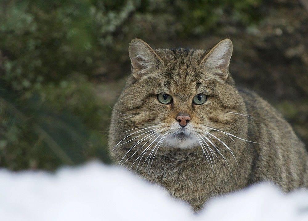 Амурский лесной кот и человек: быть или не быть неволе?