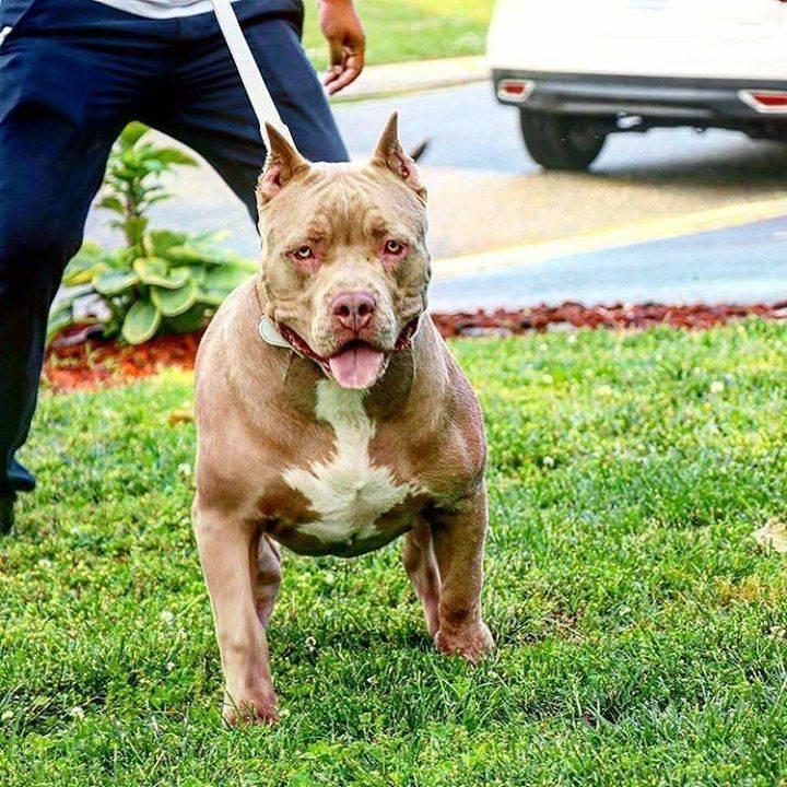 Мини питбуль: бойцовская собака в миниатюре или ласковый питомец?