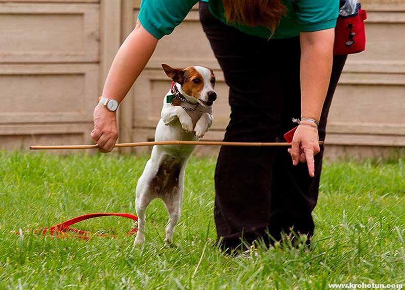Тойтерьер: как ухаживать за щенком и взрослой собакой