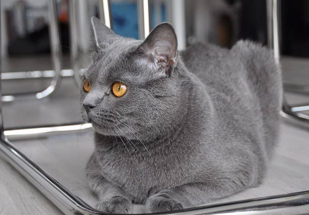 Шартрез: описание породы кошек, фото и видео материалы, отзывы о породе