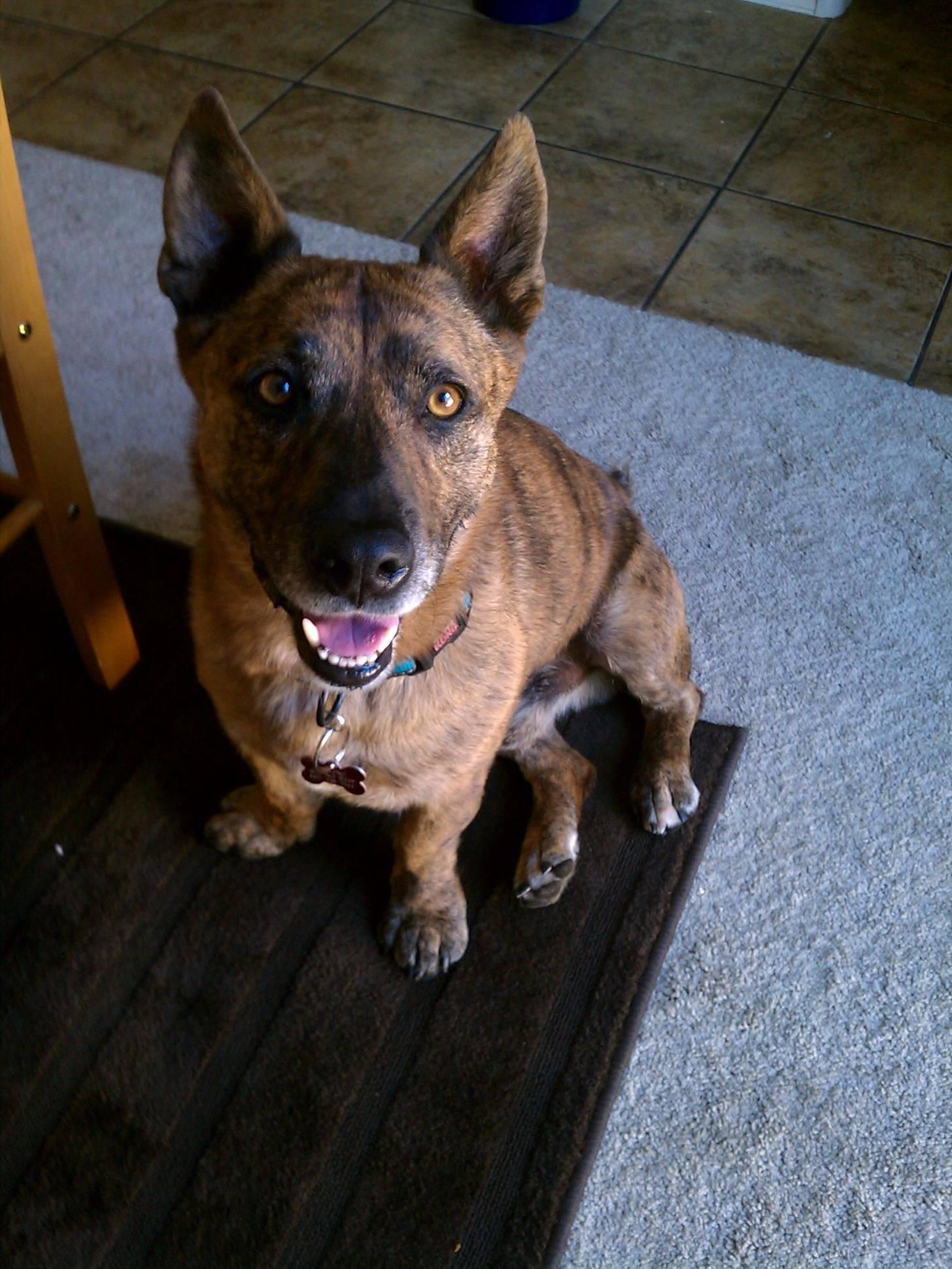 Помесь корги и хаски — жизнерадостный, добродушный пес с необычной внешностью