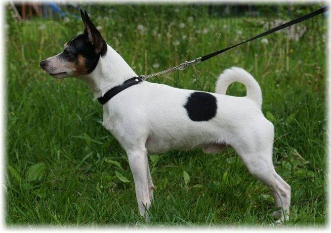 Гладкошерстный фокстерьер (32 фото): описание короткошерстной породы, особенности характера. сколько живут собаки?