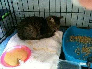Рвота у кошки, что делать: что дать коту в домашних условиях