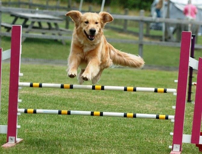 Аджилити для собак – правила, снаряды, подготовка