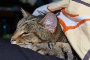 Инсульт у кошек: шанс на выздоровление есть всегда. инсульт у котов и кошек