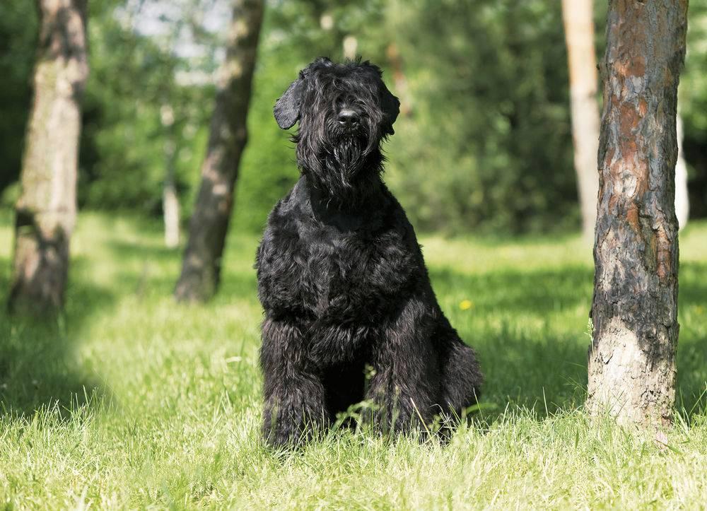 Ризеншнауцер: фото и уход, воспитание, содержание, характер собаки