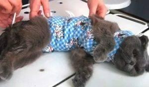 Кошка после стерилизации: как ведет себя, через сколько отходит, общее состояние животного