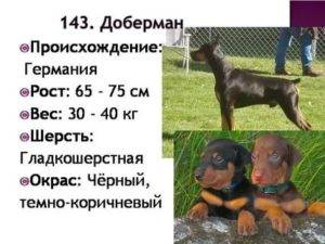 До скольки растут собаки