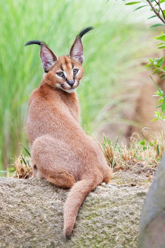 Породы кошек, похожих на рысь: описание, характер, советы по содержанию и уходу, фото