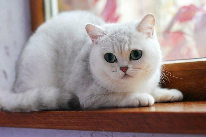 Серебристая британская шиншилла (22 фото): характер кошек, короткошерстные и длинношерстные котята. содержание серебряных британских котов